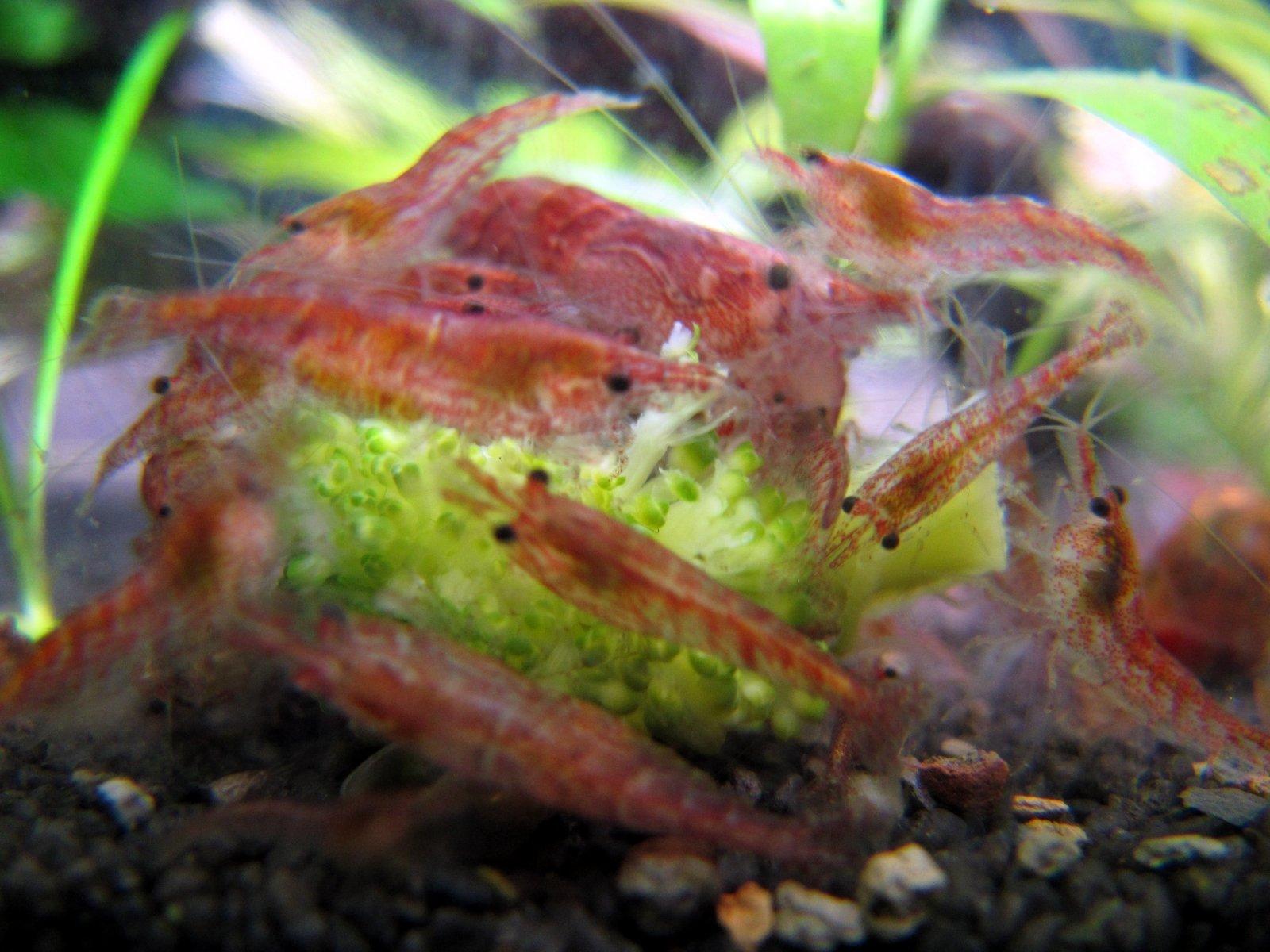 10 red cherry shrimp 1 4 1 2